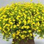 Mecardonia Magic Carpet Yellow