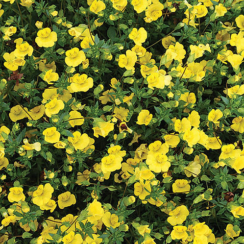 GoldDust® Mecardonia hybrid