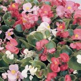 Prelude Begonia Mix
