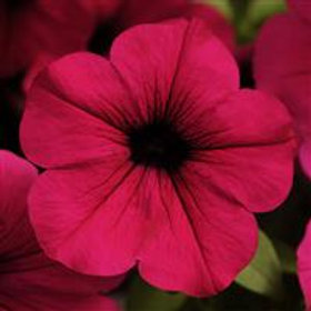 Wave® Spreading Petunia Purple