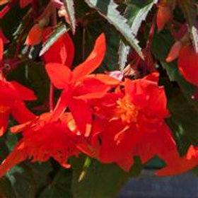 Mistral® Begonia - Orange Dbl