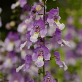 Angelonia Archangel Blue