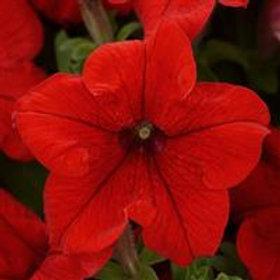 Pretty Grand Petunia Red