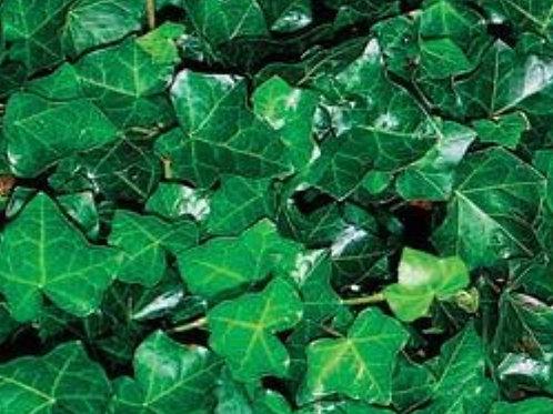 Hedera English Ivy