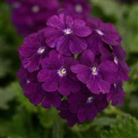 Verbena Firehouse  Purple