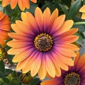 Zion™ Purple Sun Osteospermum