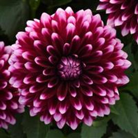 Dalaya Purple White Dahlia