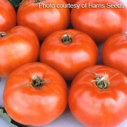 Jet Star Tomato 4 pack