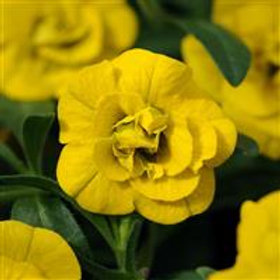 Calibrachoa MinFams Double Yellow