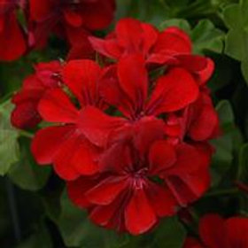 """12"""" Precision Red Ivy Geranium"""