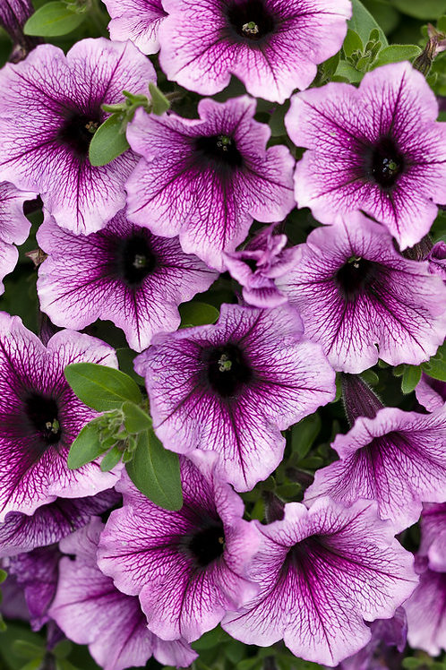 Petunia hybrid 'Supertunia® Bordeaux'
