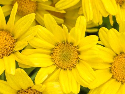 Argyranthemum Golden Butterfly