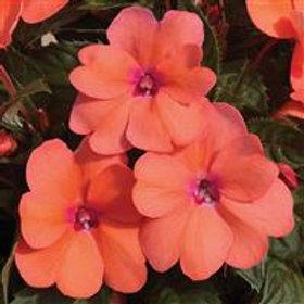 SunPatien Compact Coral Pink Impatiens