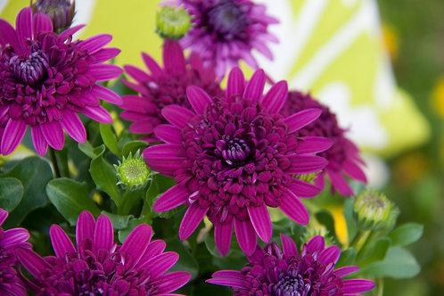 Osteospermum - 4D Purple