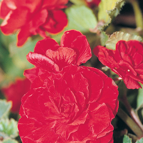 Begonia Nonstop Tuberous Red