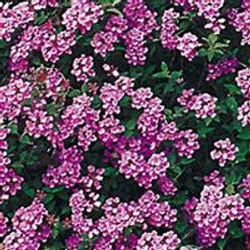 Lantana Trailing Purple