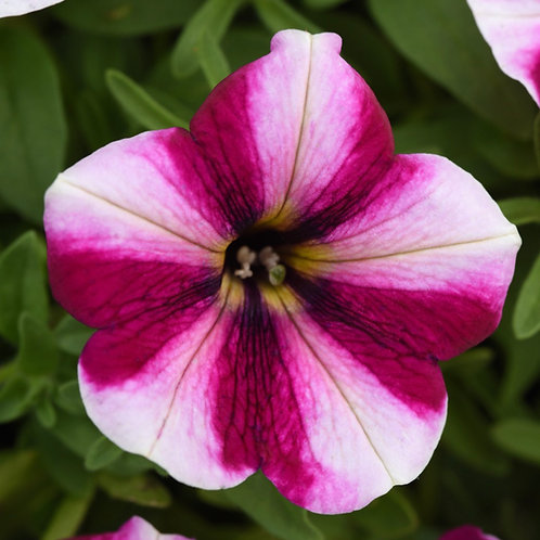 Petunia Magenta Star