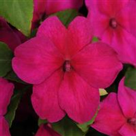 Super Elfin XP Impatiens Violet