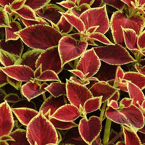 Crimson Gold Coleus