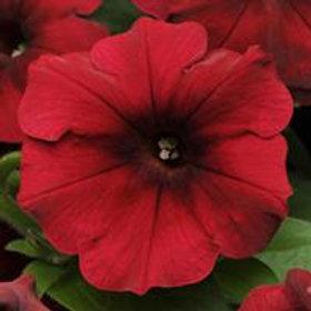 """10"""" Petunia Red Velour"""