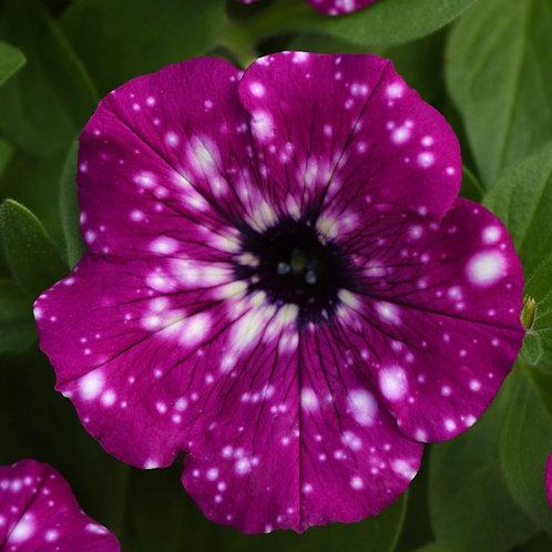 Petunia Electric Purple Sky