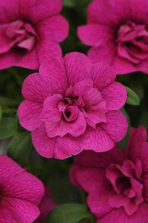 MiniFamous® Neo Calibrachoa Dbl Purple