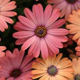 Serenity Rose Magic Osteospermum