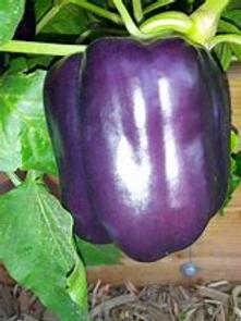 Purple Beauty Single