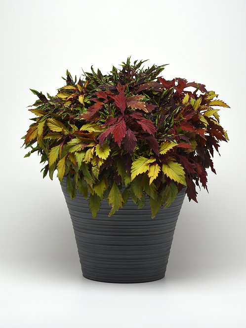5 Alarm Chilli Coleus Mix 6""