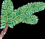 PIne Tree Branch