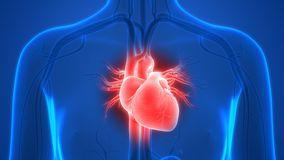 human-body-organs-circulatory-system-hea