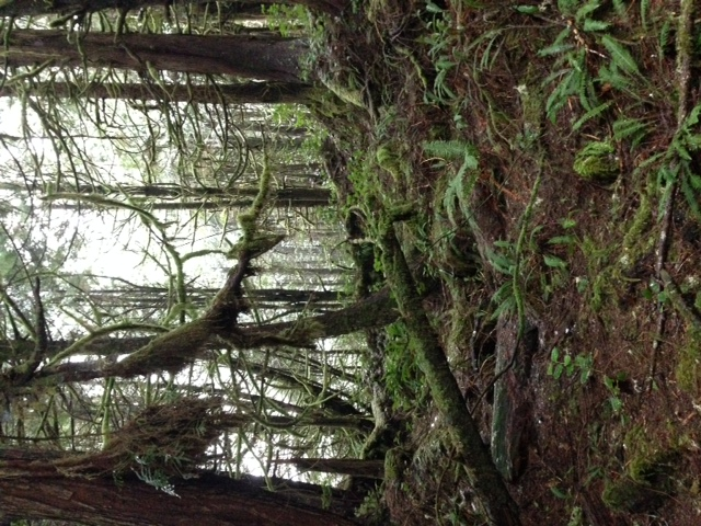 The 30 minute walk along the boardwalk to the Hot Springs Cove takes you through the stunning West Coast Rain Forest