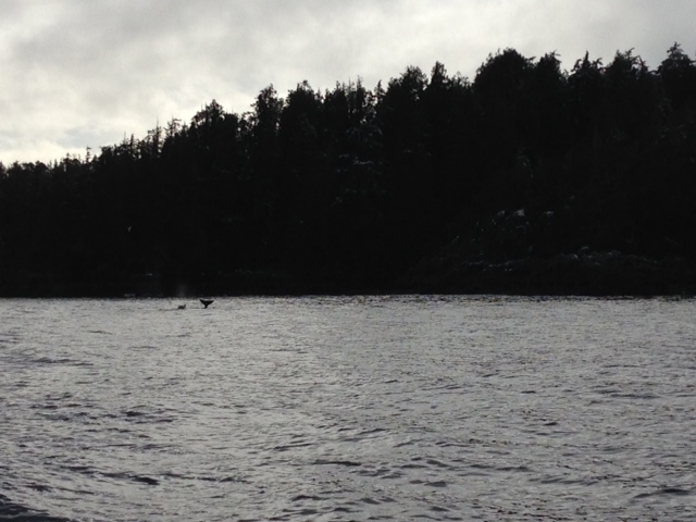 We got a great tail wave from this little killer whale!