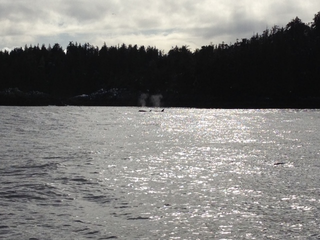 Celebrating lunch with a show for us, these killer whales impressed us on the tour back from Hot Springs Cove