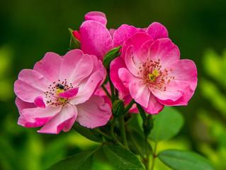 Rose musquée: la réparatrice par excellence.