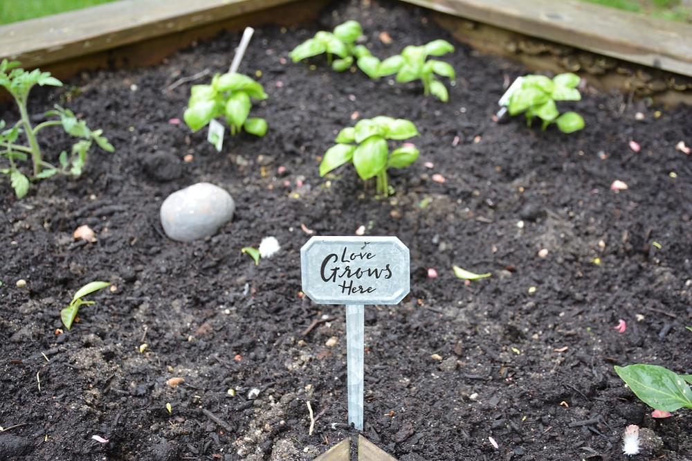 Baby basil plantings always need love