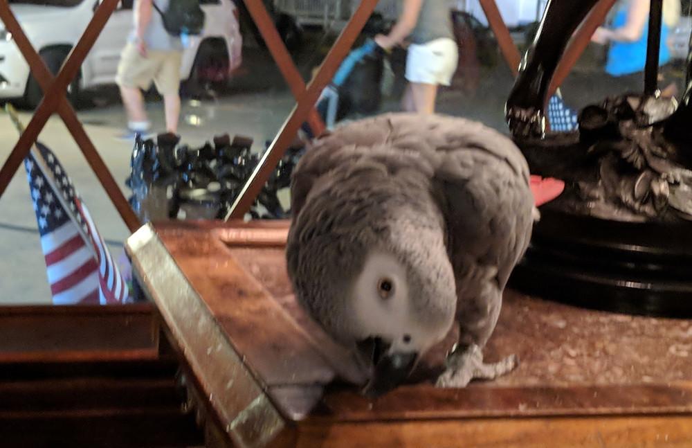 Meet Peanut, the Boardwalk Plaza's very entertaining parrot