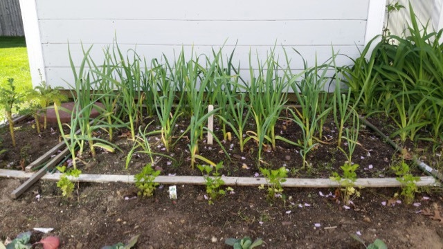 Garlic plants on their way to harvest sometime in July
