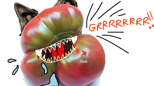 TOMATOES are special