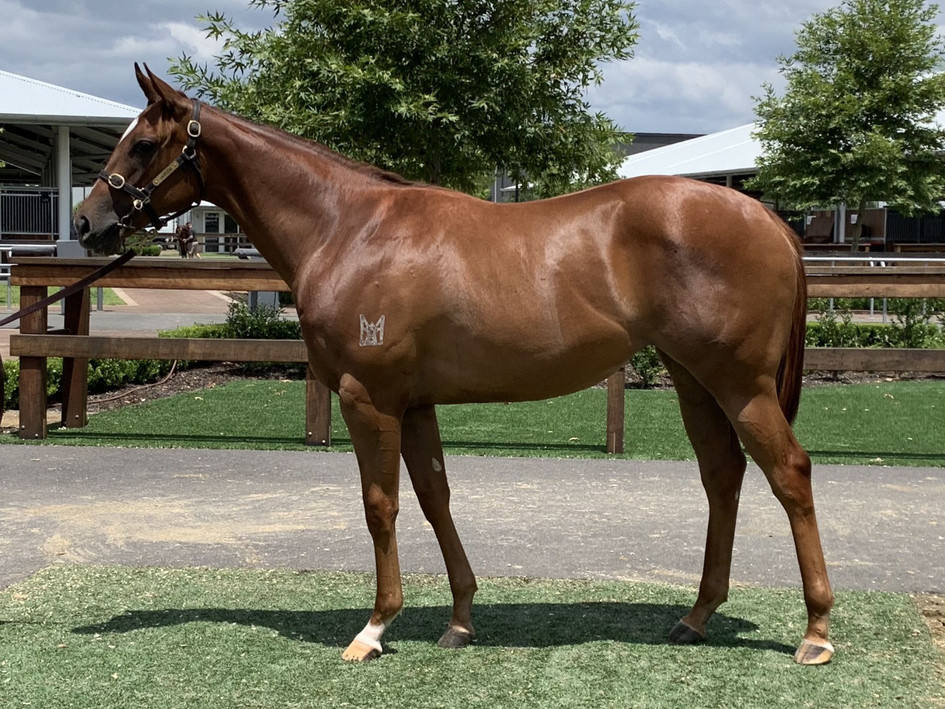 Deep Field x Opinionated Chestnut Filly