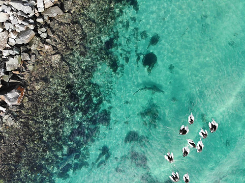 SHARKS + PELICANS | Forster - Tuncurry