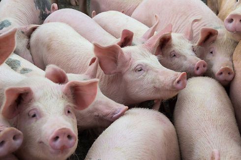 Livestock breeding. Group of pigs in far