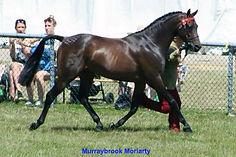 Murraybrook Moriarty stallion