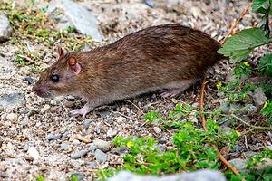 Rat on stones.jpg