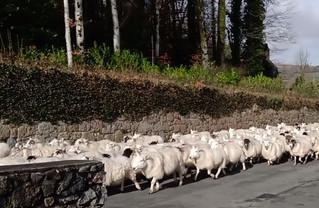 Flock of sheep.jpg