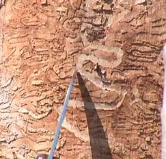 Doomed Ash trees get new life as flooring