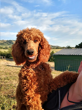 Red Moyen Poodle