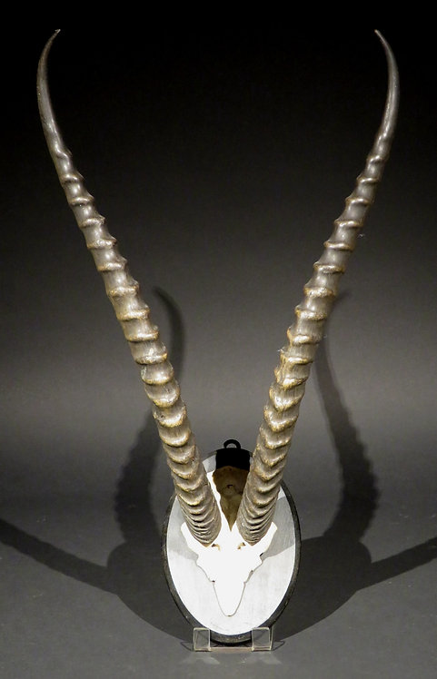 Blesbok Trophy Horns, South Africa Circa 1960