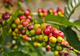 coffee tree.jpg