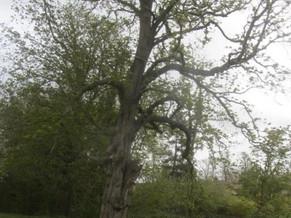 Diseased / Hazardous tree  - Humphrey's meadow
